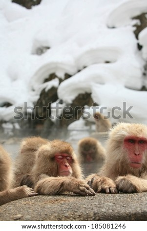 A group of Japanese snow monkeys hanging out by a rock in a hot spring.