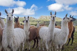A group of lamas are grazing on a mountain meadow in the norwegian mountains