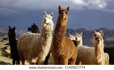 A group of llamas