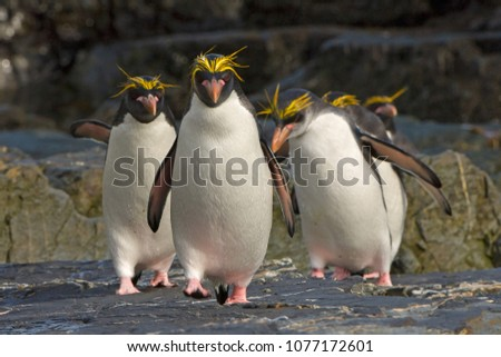 A group of Macaroni penguins strike into the camera on their return from the winter at sea.  They  come to South Georgia to nest up in the  hills and tussock grass.