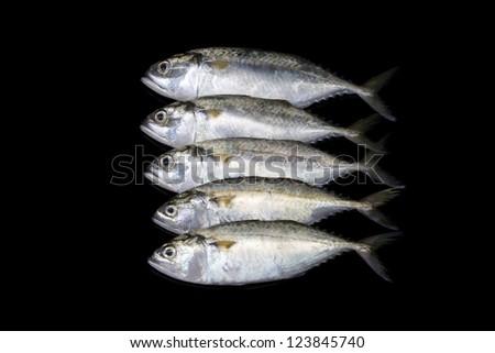 A group of mackerel on black background, Bangkok Thailand