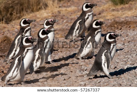 A Group of Magellan Penguins in Patagonia