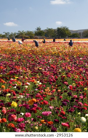 A group of Mexican migrant workers taking care of the flower fields in Carlsbad, California.