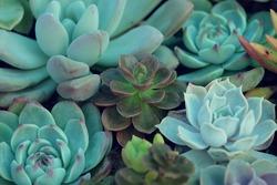 A group of Miniature succulent plants - vintage effect style.