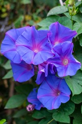a group of morning glory flowers
