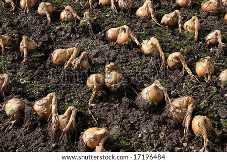 A group of onions drying in the ground before harvest