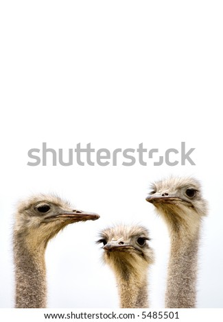 A group of ostriches discussing the day's events with copy space above