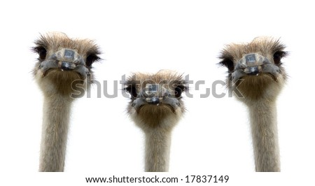 A group of ostriches isolated on white background #17837149