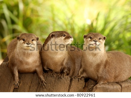 A group of Otters on a tree stump