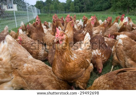 A group of pasture raised chicken search for food on the ground
