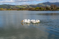 A group of pelicans catch fish in Lake Elizabeth in Central Park, Fremont
