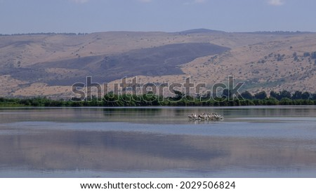 A group of pelicans resting on a tiny island in Hula Lake, Hula Nature Reserve, Hula Valley, Upper Galilee, Northern Israel, Israel.