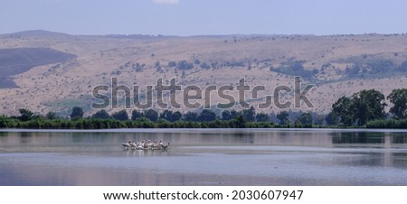 A group of pelicans resting on a tiny man-made island in Hula Lake, Hula Nature Reserve, Hula Valley, Upper Galilee, Northern Israel, Israel.