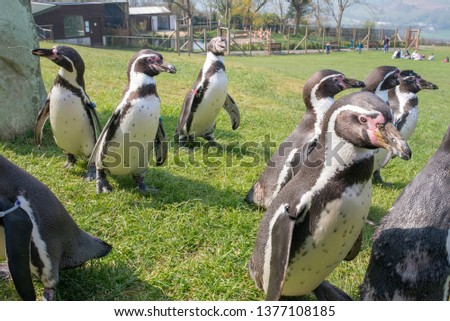 A group of penguins waddling about in a field at a zoo during feeding time