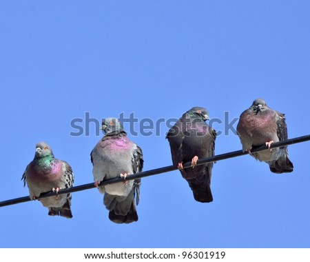 A group of pigeons perched on a power line against a blue sky.