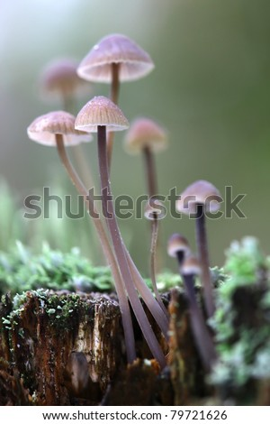 A group of poisonous mushrooms (fungus, toadstools) and moss on rotten stump #79721626