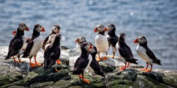 A group of Puffins on sea cliffs, Farne Islands in full breeding plumage, appear to form a committee as they group together. Perhaps they are discussing the best places to find their favourite food.