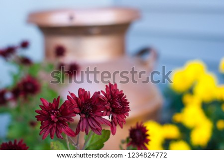 A group of 3 red mums with red mums, yellow mums, and a copper milk jug in the background #1234824772