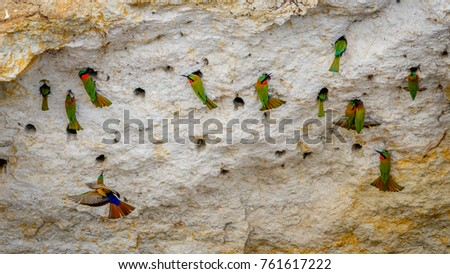 A group of red throat bee eaters being busy around there cave nests in a rock in Murchison Falls national park in Uganda. Too bad this place, lake Albert, is endangered by oil drilling companies