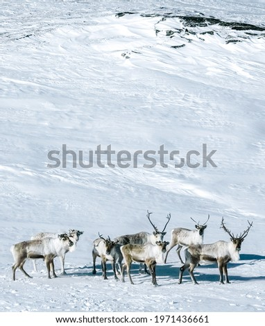 A group of Reindeers in a snowfield Stock photo ©
