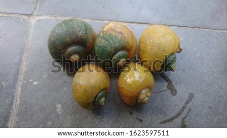 a group of rice field snails are grouping to migrate