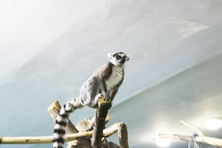 A group of ring tailed lemurs Lemur catta sleeping on a tree. A group of cute sleepy lemurs with closed eyes. Ring-shaped lemurs. Cute lemurs on the treetop looking down. A family of ring-shaped