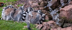 A group of ringtailed lemurs get close to keep warm