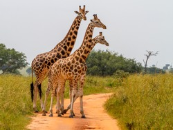 A group of Rothschild's giraffes cross a road in Murchison national park (Uganda). Unlike any other giraffe sub subspecies the Rothschild's giraffe does not display any markings on the lower legs.