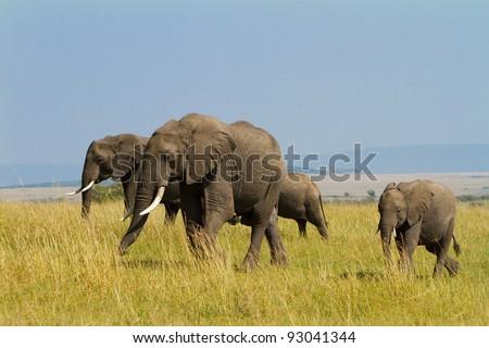A group of savanna elephants with their babies is walking on the savanna at Masai Mara, Kenya - stock photo