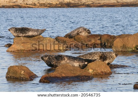 A group of seals basking on rocks in the late afternoon sun
