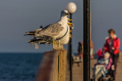 A group of several seagulls or gulls stand in a row on a seaside railing at golden hour near the ocean at sunset or sunrise with water on the horizon. It's Caspian gull (Larus cachinnans).