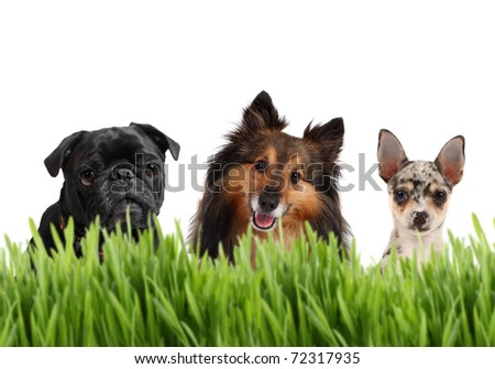 A group of small dogs on a white background behind grass, with a Chihuahua, Sheltie, and a Pug,