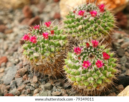 A group of small flowering cacti.