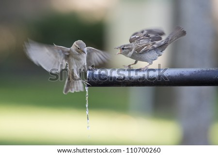 A group of sparrows drinking fresh water from a fountain tube.