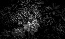 A group of succulent plants with B&W color