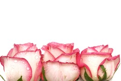 A group of sweet pink roses blossom with droplets on white wall background and copy space