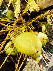 A group of tender coconuts that are nit yet grown for use.The coconut have light green color and can see the attachment of coconut to the tree.Can see the stalk of the coconut from the tree.