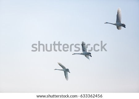 A group of three whooper swans lining up and flying together up in the blue sky