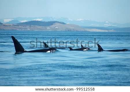 A group of transient (marine mammal feeding) orcas surfaces together, with San Juan Island, Washington in the background.