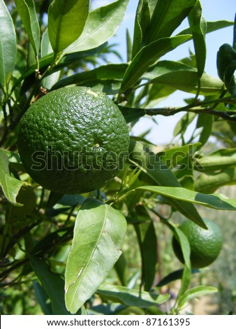 A group of unripe green oranges still on the tree.