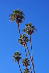 A group of very tall Fan Palms in a Southern California coastal area under a bright blue autumn sky