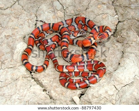 ... Coral Snake mimics - Red Milk Snakes, Lampropeltis