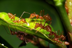 A group of weaver ants are going to move a scale insects to other locations.
