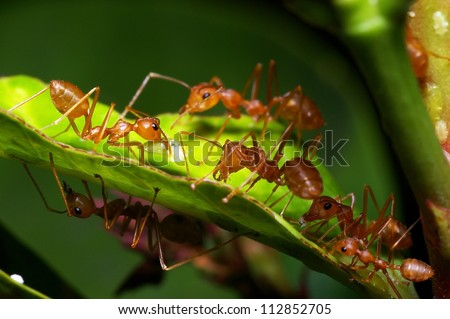 A group of weaver ants are going to move a scale insects to other locations. #112852705