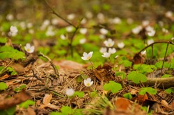 A group of white flowers  (Oxalis acetosella, wood sorrel) grows in the forest. Herald of spring.