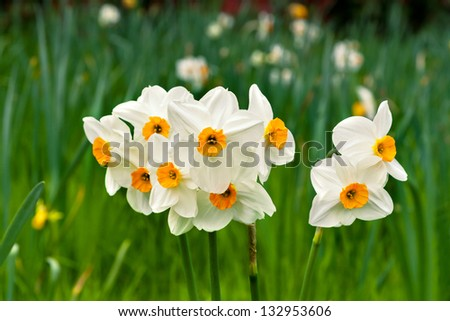 A group of white Narcissus. Spring landscape.
