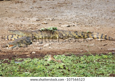 A group of WILD Nile Crocodiles or Common Crocodiles (Crocodylus niloticus) basking on the banks of the Kazinga Channel in Uganda, Africa.