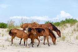A group of wild ponies, horses, of Assateague Island on the beach in Maryland, USA. These animals are also known as Assateague Horse or Chincoteague Ponies.