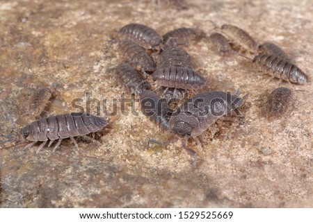 a group of woodlouses, Porcellio scaber, on a stone #1529525669