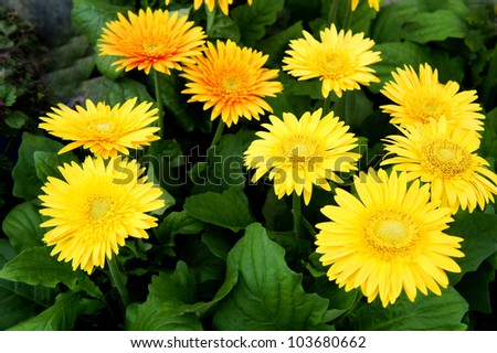 a group of yellow gerbera flowers